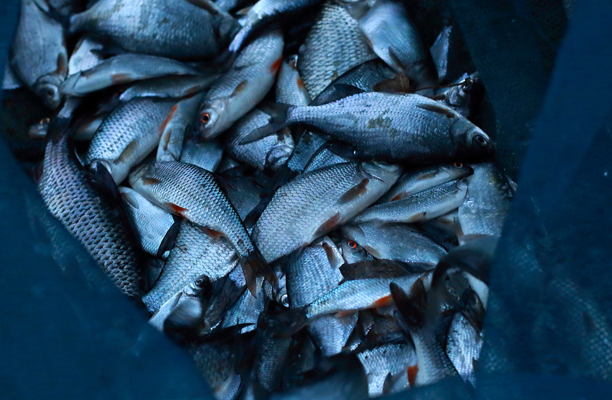 099b 06 12 2015 Limmen, heel veel vis